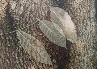 Leaf-Skeletons-Bark-S.Stephens