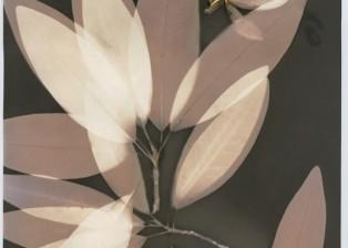 SweetBayMagnolia